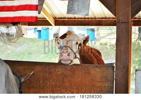 Beautiful Cow Looking into a Cattle Enclosure