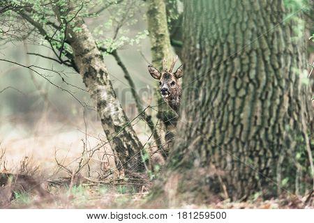 Curious Roe Deer Buck Peeking Behind Tree.