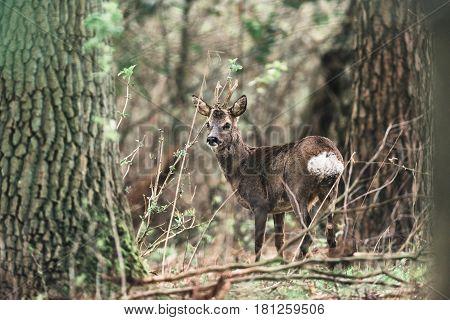 Roe Deer Buck Between Trees In Forest.