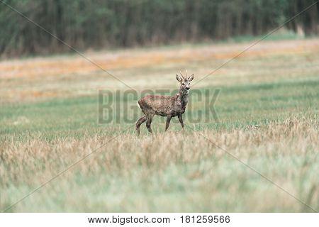 Roebuck Walking In Meadow. Alert Looking Around.
