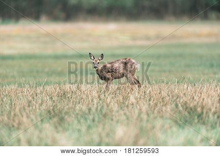 Roe Deer Doe During Moult Standing In Meadow. Looking Up.