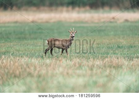 Roebuck Looking Around While Standing In Field.