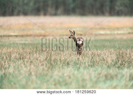 Roe Deer Doe Standing In Meadow Looking Aside.