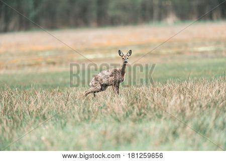 Alert Peeing Roe Deer Doe In Grass.