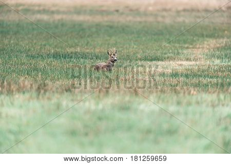 Ruminating Roebuck Lying Down In A Field.