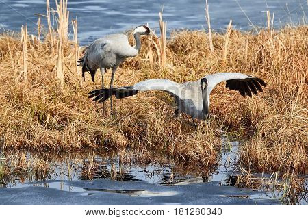 Two Common Cranes Foraging