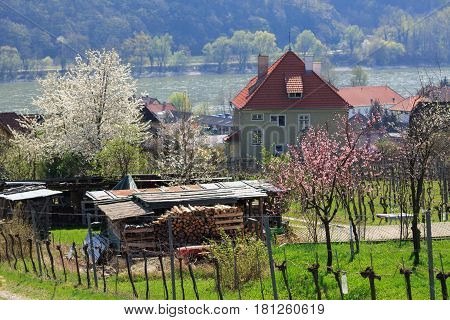 Residential houses in the market town of Weissenkirchen in der Wachau among the flowering trees. The district of Krems-Land, Lower Austria.