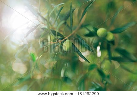 Olive branch with fruits. Olive groves and gardens in Montenegro.