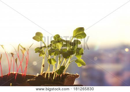 Young seedlings of radishes and beets in peat pots on the window morning rays of the sun copyspace.