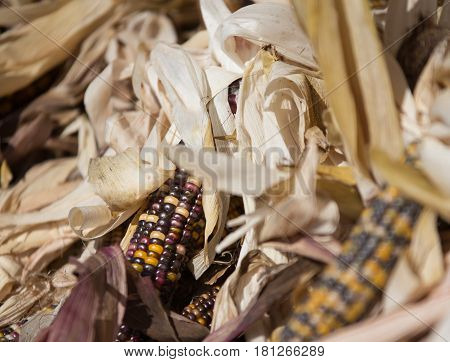 Flint corn or Indian corn at a farmers market in Nova Scotia