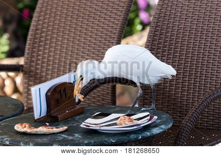 Cute wild bird with white feathers plumage and long orange beak eating pizza food leftovers from plate on table with brown chairs in outdoor cafe on sunny summer day on natural background