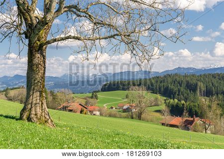 Solitary big bald tree standing alone on a hill in springtime. Blue sky with clouds and snow covered mountains in a rural countryside with farmhouses.