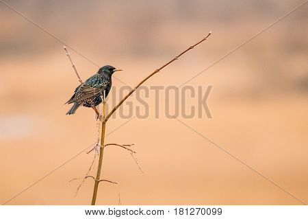 Wild Forest Bird Common Starling Sitting In Branch Tree In Spring Season. Belarus,  Belarusian Nature, Wildlife