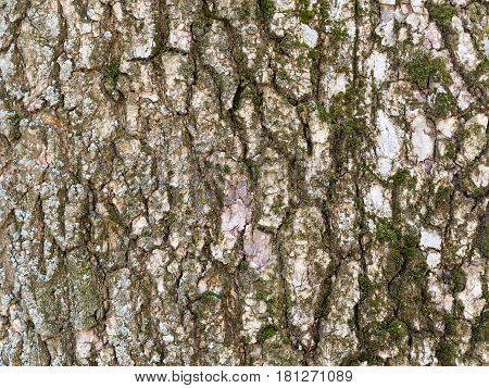 Tree bark texture close-up of selective focus. Use of birch bark wood as a natural background. Old birch bark and moss. Silver birch with moss.