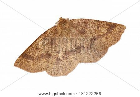 Hemlock Looper moth (Lambdina fiscellaria) isolated on a white background