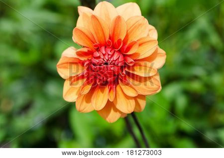 a great flower on the family Dahlia orange and beutiful