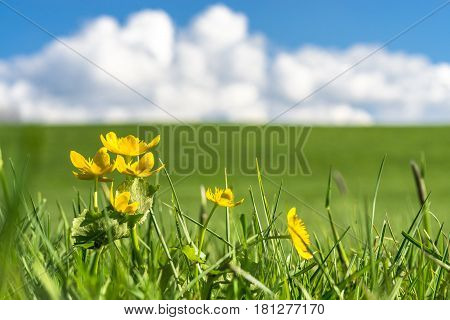 Yellow Marsh Marigold flowers an a green grassy meadow on a clear day. Natural eco background with a bright blue sky, clouds and green grass. Environment or season concept background with copy space.