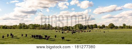 Country panorama of cattle in a lush green pasture with fluffy clouds and blue sky
