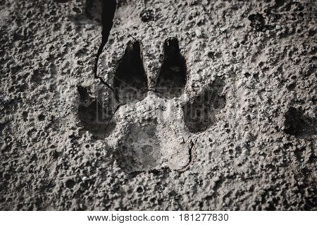 Closeup of dog footprint at the cracked ground. Animal footmark in dried land. Outdoor at the daytime. Nature background.