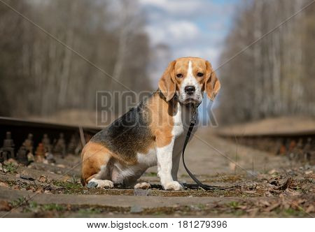 Dog Beagle on a walk sitting on the sleepers of the railway