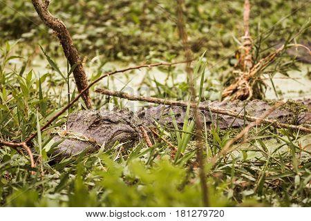 American Alligator hiding in a marshy area