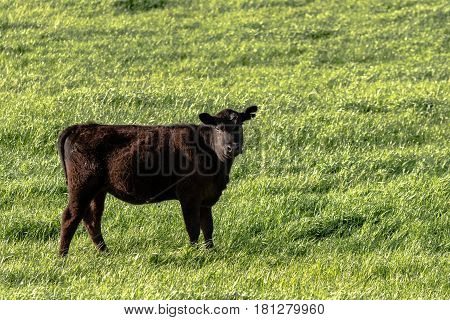 Angus heifer cow standing in a lush green pasture with blank area to the right