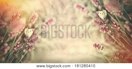 White butterfly on lavender flower - selective focus on butterflies on lavender lit by sunlight