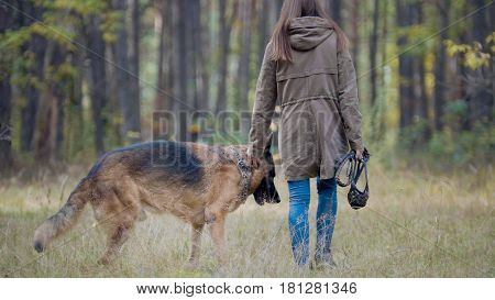 Pet - German shepherd dog in the autumn forest - rear view, telephoto