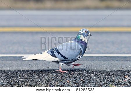 Cute colorful pigeon is strolling on the side of a main road, keeping out from traffic.