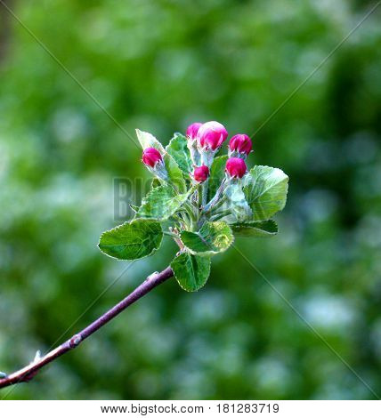 Fragile , Beautiful Blossom Of An Apple Tree.morning Shot