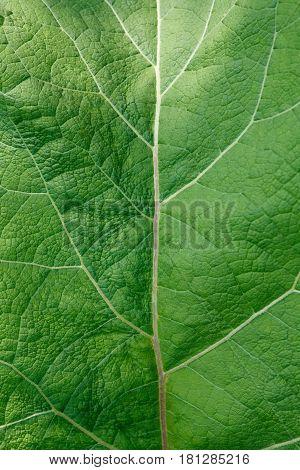 Fresh green burdock leaf texture closeup. Natural foliage, botanic background, macro shot, vertical