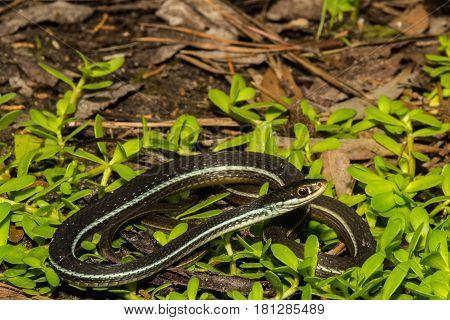 A Bluestripe Ribbon snake basking in the sun.