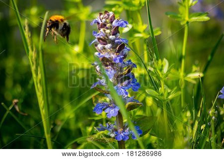 Bumblebee flies away from wildflower in a garden