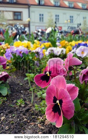Flowerbed with many multicolor pansies. Viola tricolor: yellow violet blue flowers. Colorful background. Selected focus