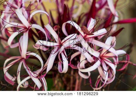 Close up of a tropical flower,Crinum Lily, Grand Cayman, Cayman Islands