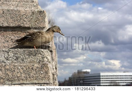 bird duck female standing on the stone staircase and looks down on the background of blue sky with clouds building animal