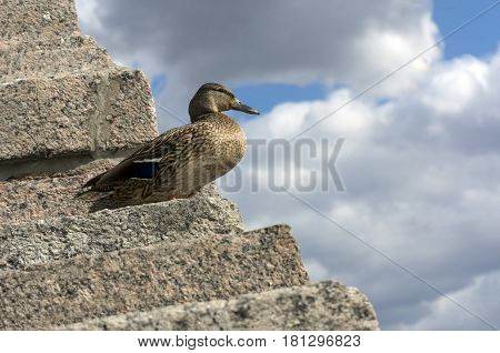 bird duck female with brown feathers and a beak stands on a stone staircase on blue sky background with white and gray clouds