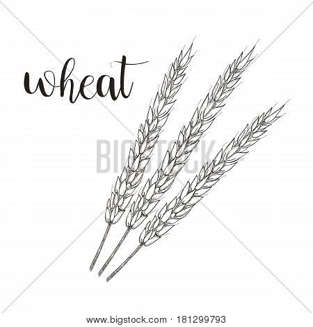 Wheat sketch vector illustration. Wheat hand drawing spikelet