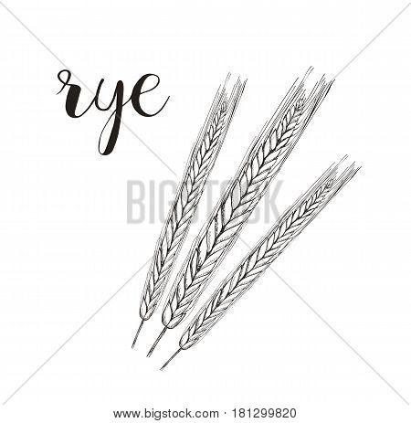 Rye sketch vector illustration. Rye hand drawing spikelet