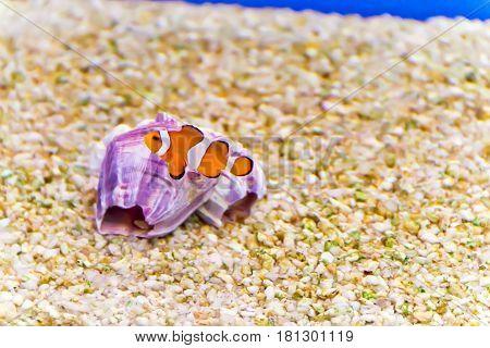 Photo of aquarium clown fish amphiprion percula