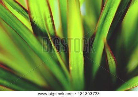 Soft Focus Kentia Palm Tree Leaves Background