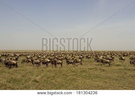 Wildebeest Great Migration In Serengeti National Park, Tanzania