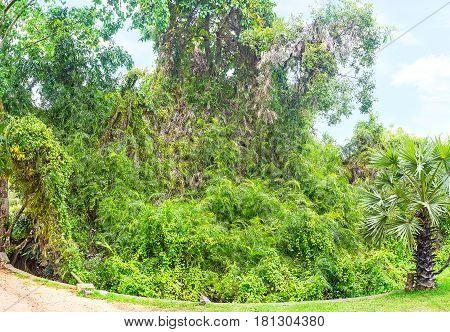 The Tree In Liana Vines