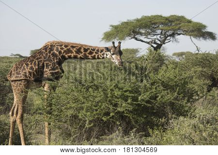 Giraffe Bent Over Grazing, Serengeti, Tanzania