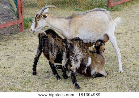 Goat feeding their kids on the farm