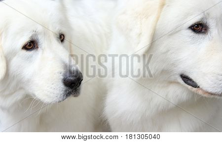 Cropped shot of white dogs. White sheepdogs background.