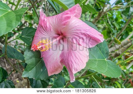 Pretty in Pink: close up of a large pink hibiscus flower, with droopy leaves
