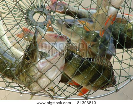 Fish from the lake. Perch pike in the cage.
