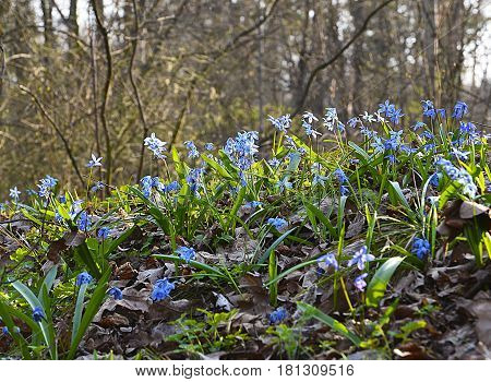 Blue Scilla flowers (Scilla siberica,Squill) in spring forest.Selective focus,copy space.