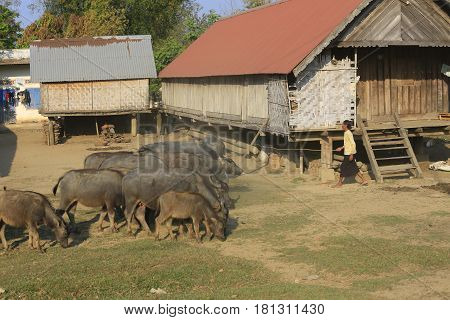 Dak Lak, Vietnam, March 12,2017: Group of Buffalo in local people village in central highland, Vietnam